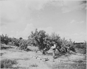Peach orchard. spc20-011c, Box 20, Small Print Collection, RG 48-2-1, Georgia Archives.